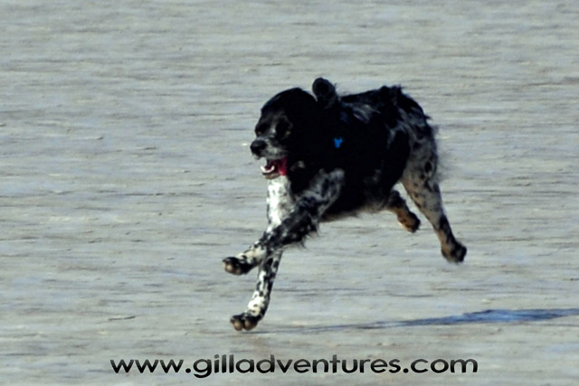 French Brittany in running flight over the Alvord Desert