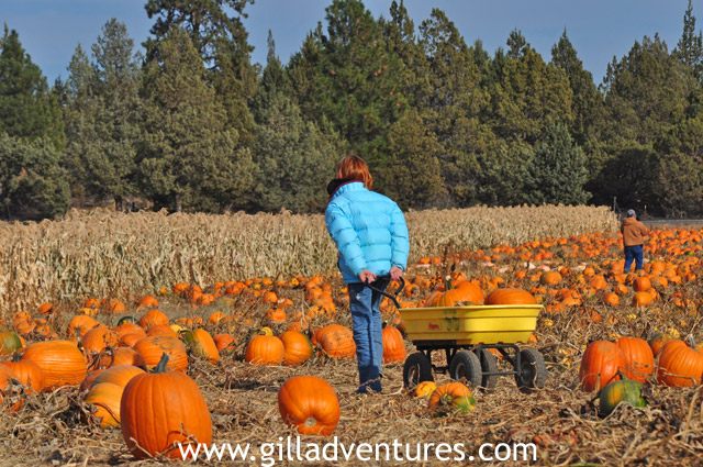 central oregon pumpkin co u-pick patch and corn maze