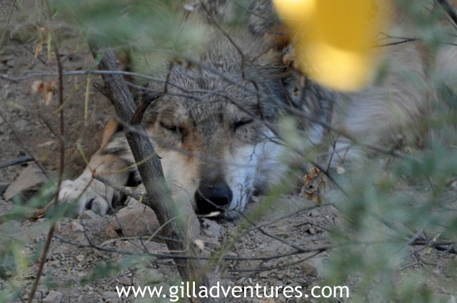 Wolf sleeping at the sonora desert museum