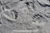 bear prints in the mud on the Talachulitna River