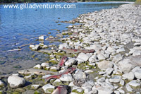 thousand of dead salmon line the shore after spawing on the Talachulitna River, Alaska