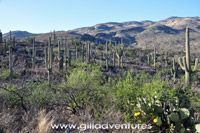 huge stands of saguaro in the late day sun, Hope Camp Trail