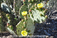 prickly pear cactus in bloon, hope camp trail, tucson