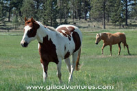 Adventures with our horses - Skewbald Pinto and Palomino