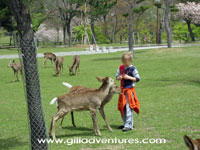 feeding deer in Nara, Japan