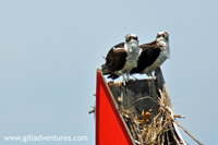 osprey on the Magothy