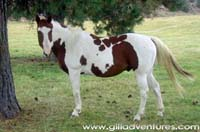 Adventures with my horse - skewbald pinto paint horse
