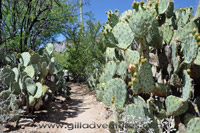 prickly pear cactus at the bottom of ventana canyon trail
