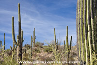 saguaro cactus in the desert on lower finger rock trail, tucson