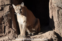 sonora desert museum mountain lion