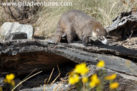 coati at the sonora desert museum