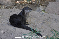 river otter at the sonora desert museum